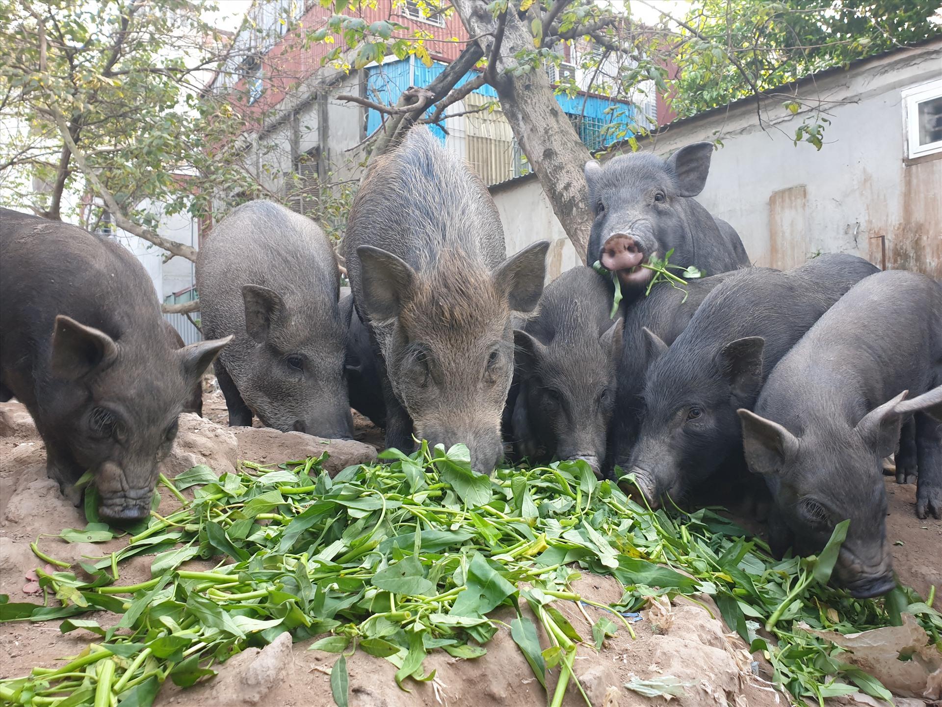 Thịt lợn mán là gì?