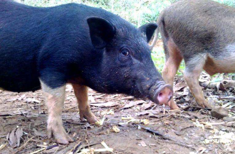Thịt lợn mán là gì? Các món ngon từ thịt lợn mán
